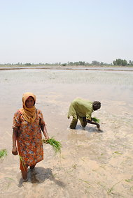 A couple planting rice in a once-barren field in the village of Sharbaga in northeastern Pakistan.