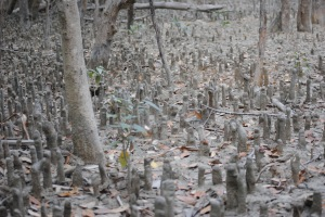 Roots of mangrove trees grow upward to seek oxygen when submerged in salt water