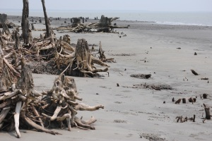 Jamtala Beach in the Sundarbans is littered with remnants of tree trunks battered by Cyclone Sidr in 2007, which killed 3,000 people in Bangladesh. Photo: Amy Yee