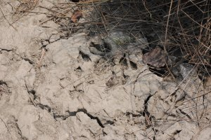 Mud captures the movement of tigers throughout the mangroves. Photo: Amy Yee